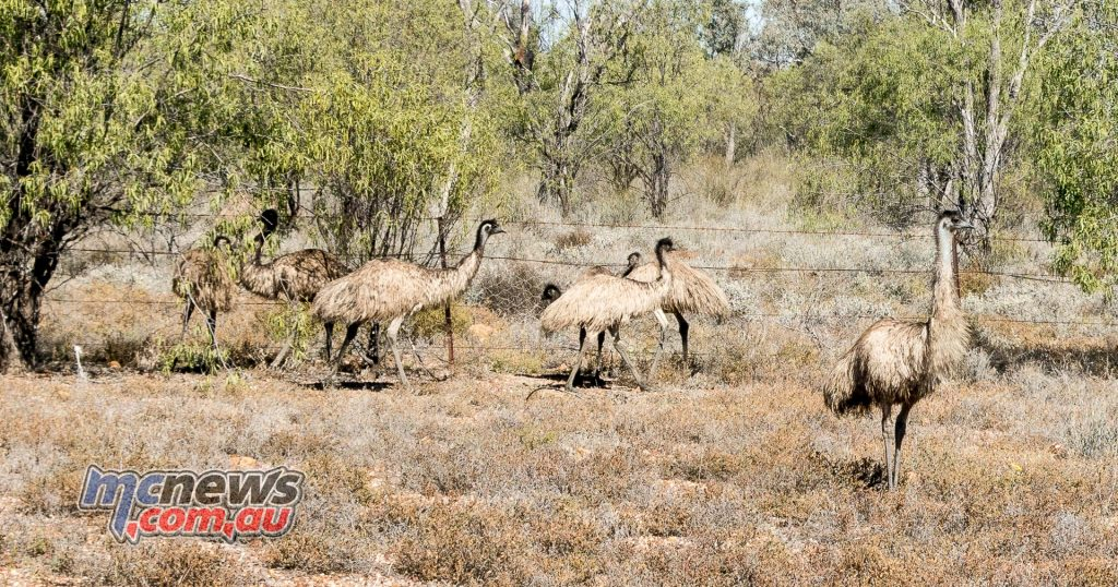 These emus were near Walgett NSW. The 45kg flightless birds featured heavily over the first part of today.