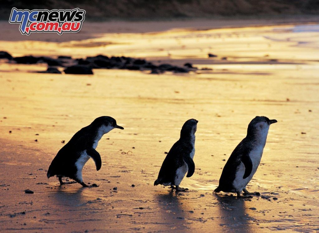 Little penguins emerge from the sea at dusk at Phillip Island