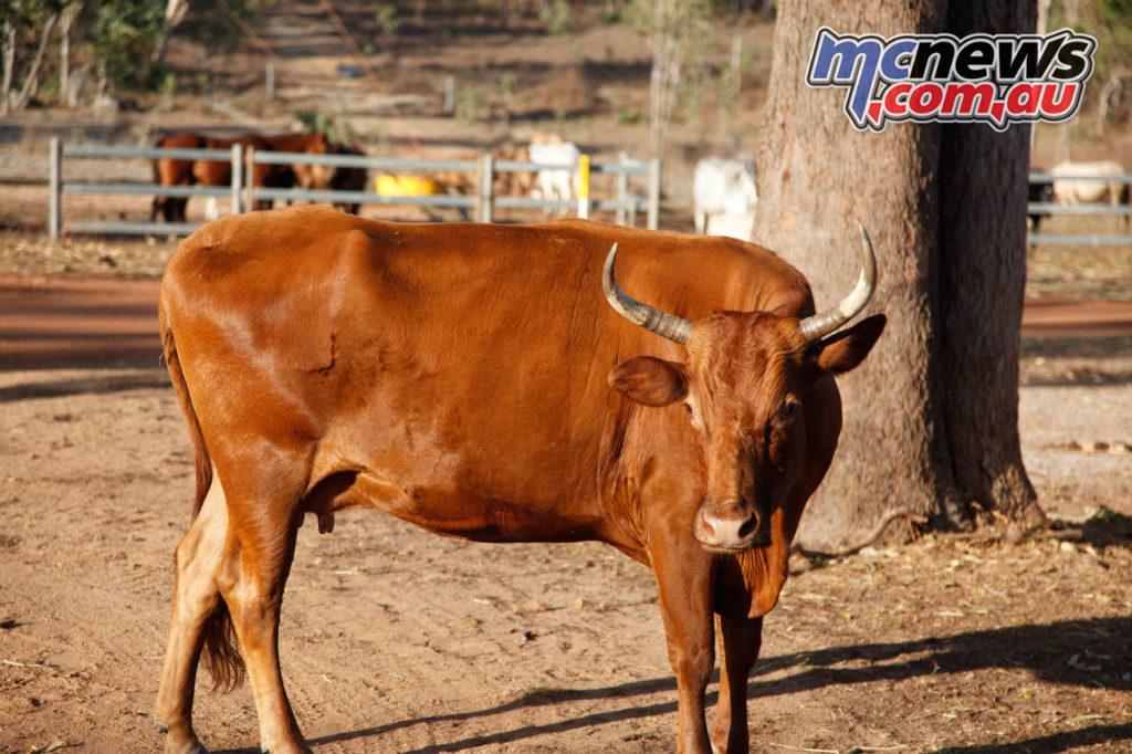 Daryl Beattie Adventures Cape Cairns CRF vs Bull